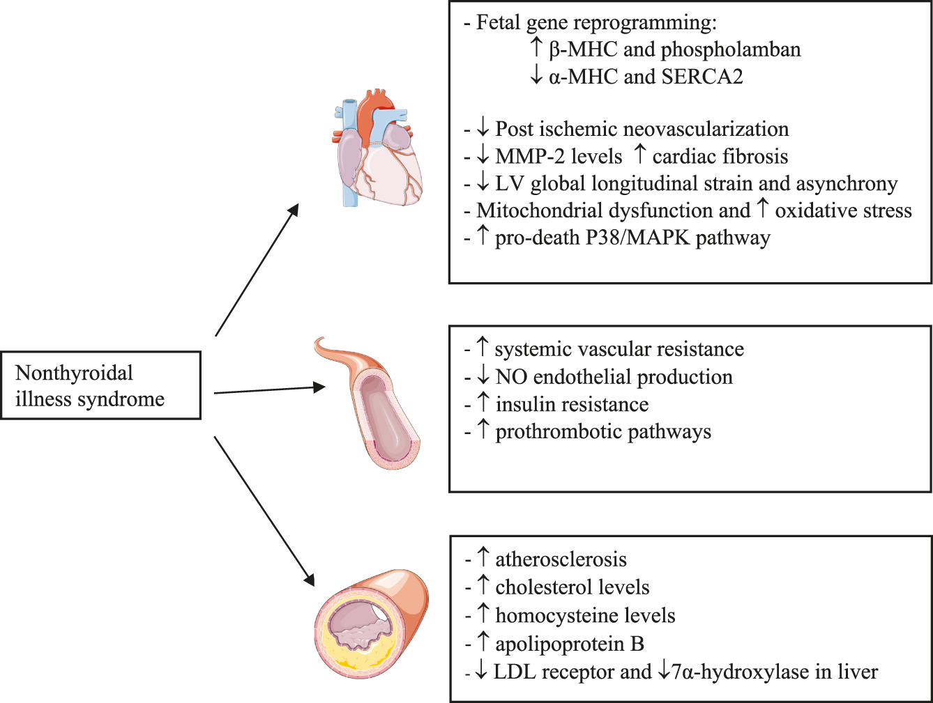 The Impact Of Thyroid Hormone Dysfunction On Ischemic Heart