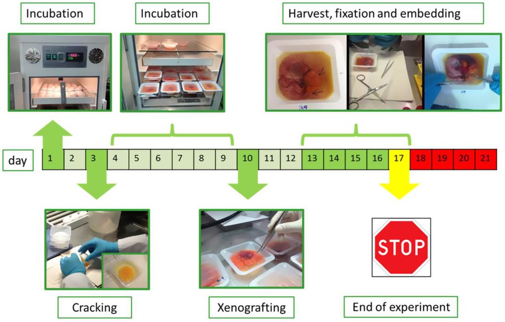 The avian chorioallantoic membrane as an alternative tool to study