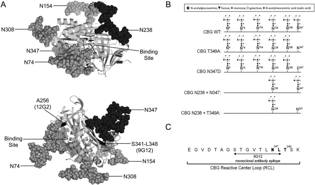 N-Glycosylation influences human corticosteroid-binding