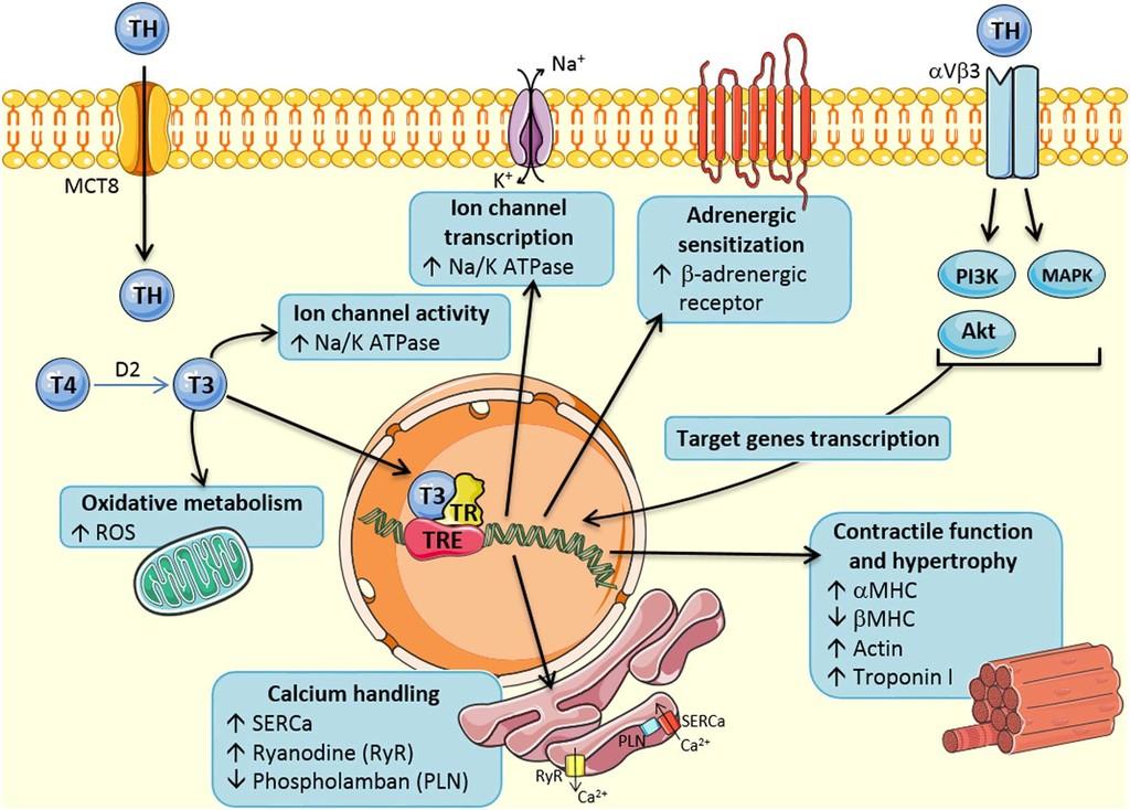 Impact Of Hyperthyroidism On Cardiac Hypertrophy In Endocrine